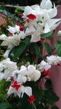 κόκκινη άσπρη κάλυψη καρδιών στοκ φωτογραφία