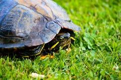 Κόκκινη έχουσα νώτα χελώνα στενό σε επάνω κοχυλιών Στοκ εικόνα με δικαίωμα ελεύθερης χρήσης