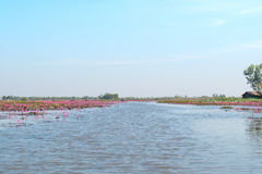 Κόκκινη λίμνη τομέων λωτού στο udonthani της Ταϊλάνδης Στοκ Φωτογραφίες