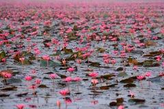 Κόκκινη λίμνη λωτού Στοκ Εικόνα