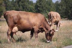 Κόκκινη αγελάδα με πλήρες udder που τρώει τη χλόη Στοκ Φωτογραφία