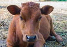 Κόκκινη αγελάδα στο λιβάδι Στοκ Φωτογραφία