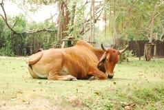 Κόκκινη αγελάδα Στοκ εικόνα με δικαίωμα ελεύθερης χρήσης