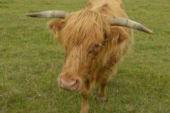 Κόκκινη αγελάδα Στοκ Φωτογραφία