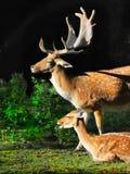 Κόκκινη αγρανάπαυση Deers Στοκ Εικόνες