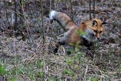 Κόκκινη αλεπού που πηδά στο θήραμα Στοκ φωτογραφίες με δικαίωμα ελεύθερης χρήσης