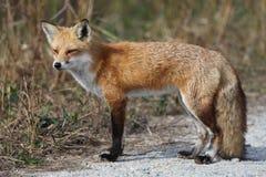Κόκκινη αλεπού που στέκεται το φθινόπωρο Στοκ Εικόνες