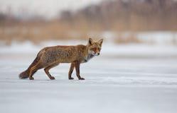 Κόκκινη αλεπού σε ένα χειμερινό τοπίο Στοκ Εικόνα
