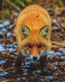 Κόκκινη αλεπού στα ξύλα στοκ φωτογραφία με δικαίωμα ελεύθερης χρήσης