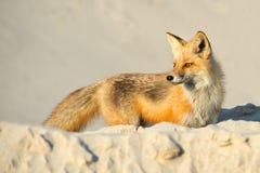 Κόκκινη αλεπού στην παραλία Στοκ φωτογραφία με δικαίωμα ελεύθερης χρήσης