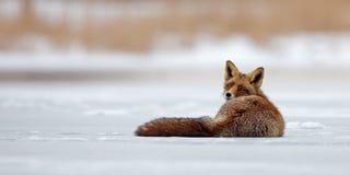 Κόκκινη αλεπού στον πάγο Στοκ φωτογραφία με δικαίωμα ελεύθερης χρήσης