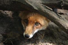 Κόκκινη αλεπού Στοκ εικόνα με δικαίωμα ελεύθερης χρήσης