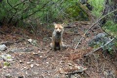Κόκκινη αλεπού Cazorla και Segura επιφύλαξη φύσης Ισπανία Στοκ εικόνα με δικαίωμα ελεύθερης χρήσης