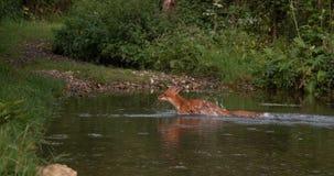 Κόκκινη αλεπού, vulpes vulpes, ενήλικος ποταμός περάσματος, Νορμανδία στη Γαλλία, φιλμ μικρού μήκους
