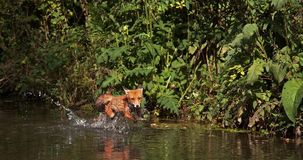 Κόκκινη αλεπού, vulpes vulpes, ενήλικος ποταμός περάσματος, Νορμανδία στη Γαλλία, απόθεμα βίντεο