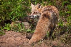 Κόκκινη αλεπού Vulpes vulpes Vixen που γυρίζουν Στοκ Εικόνες