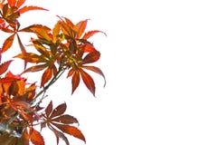 Κόκκινη αλλαγή χρώματος φύλλων σφενδάμου άνοιξη στο άσπρο υπόβαθρο του αρχείου με το ψαλίδισμα της πορείας Στοκ εικόνα με δικαίωμα ελεύθερης χρήσης