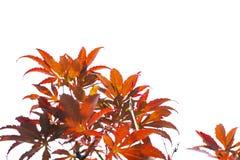 Κόκκινη αλλαγή χρώματος φύλλων σφενδάμου άνοιξη στο άσπρο υπόβαθρο του αρχείου με το ψαλίδισμα της πορείας Στοκ Φωτογραφίες