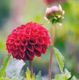 Κόκκινη ανάπτυξη αστέρων στον κήπο Στοκ φωτογραφίες με δικαίωμα ελεύθερης χρήσης
