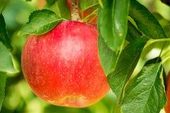 Κόκκινη ανάπτυξη της Apple σε ένα δέντρο της Apple Στοκ φωτογραφίες με δικαίωμα ελεύθερης χρήσης