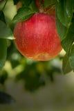 Κόκκινη ανάπτυξη της Apple σε ένα δέντρο της Apple Στοκ Φωτογραφία