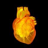 Κόκκινη ανθρώπινη καρδιά Στοκ εικόνα με δικαίωμα ελεύθερης χρήσης