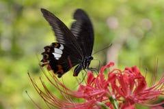 κόκκινη αράχνη κρίνων της Helen Στοκ φωτογραφίες με δικαίωμα ελεύθερης χρήσης