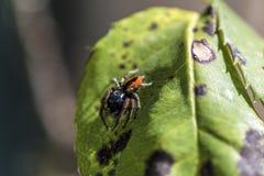 κόκκινη αράχνη Στοκ Εικόνα