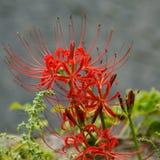κόκκινη αράχνη radiata lycoris κρίνων Στοκ Φωτογραφία