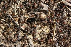 Κόκκινη δασική κινηματογράφηση σε πρώτο πλάνο μυρμηγκιών Στοκ Εικόνες