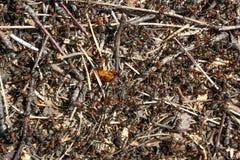 Κόκκινη δασική κινηματογράφηση σε πρώτο πλάνο μυρμηγκιών Στοκ εικόνες με δικαίωμα ελεύθερης χρήσης