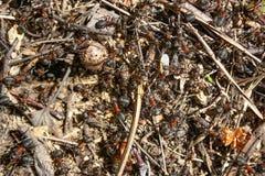 Κόκκινη δασική κινηματογράφηση σε πρώτο πλάνο μυρμηγκιών Στοκ Εικόνα