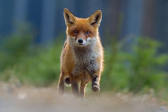 Κόκκινη αλεπού άλματος Κόκκινη αλεπού τρεξίματος, Vulpes vulpes, στην πράσινη δασική σκηνή άγριας φύσης από την Ευρώπη Πορτοκαλί  Στοκ Φωτογραφίες