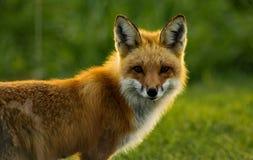 Κόκκινη αλεπού αναδρομικά φωτισμένη Στοκ Εικόνες