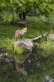 Κόκκινη αλεπού με την εξάρτηση Στοκ Εικόνες