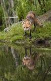 Κόκκινη αλεπού με την τέλεια αντανάκλαση Στοκ Φωτογραφίες