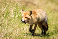 Κόκκινη αλεπού με το ποντίκι Στοκ φωτογραφία με δικαίωμα ελεύθερης χρήσης