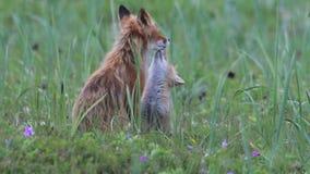 Κόκκινη αλεπού με cubs απόθεμα βίντεο