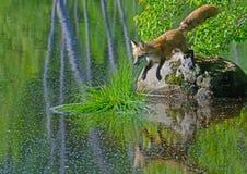 Κόκκινη αλεπού που πηδά από το μεγάλο βράχο στο μπάλωμα της χλόης Στοκ Εικόνες