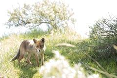 Κόκκινη αλεπού, που στέκεται και που φαίνεται κεκλεισμένων των θυρών Στοκ Εικόνα