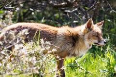 Κόκκινη αλεπού που στέκεται στον ήλιο Στοκ Φωτογραφία