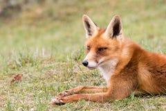 Κόκκινη αλεπού που στηρίζεται στη χλόη Στοκ εικόνα με δικαίωμα ελεύθερης χρήσης