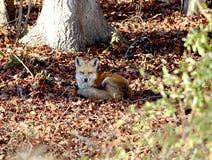 Κόκκινη αλεπού που στηρίζεται στις προσοχές ξύλων ιδιαίτερες Στοκ Εικόνες