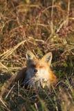 Κόκκινη αλεπού που στηρίζεται στο λιβάδι με τις προσοχές ιδιαίτερες Στοκ Εικόνα