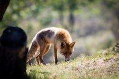 Κόκκινη αλεπού σε μια χλόη ρουθουνίσματος λόφων Στοκ Φωτογραφία