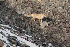 Κόκκινη αλεπού στα βουνά της Τιέν Σαν, Στοκ φωτογραφίες με δικαίωμα ελεύθερης χρήσης