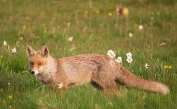Κόκκινη αλεπού στα λουλούδια Στοκ εικόνα με δικαίωμα ελεύθερης χρήσης