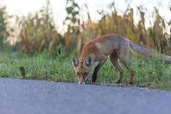 Κόκκινη αλεπού στην άκρη του δρόμου Στοκ Εικόνα