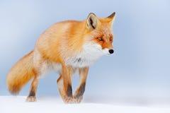 Κόκκινη αλεπού στο άσπρο χιόνι Κρύος χειμώνας με την πορτοκαλιά αλεπού γουνών Κυνήγι του ζώου στο χιονώδες λιβάδι, Γερμανία Όμορφ Στοκ Φωτογραφίες