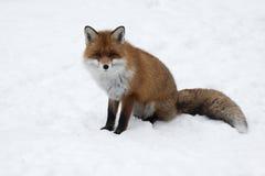 Κόκκινη αλεπού στο sno Στοκ εικόνα με δικαίωμα ελεύθερης χρήσης